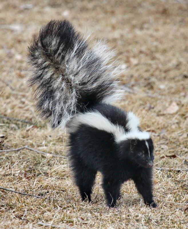 Skunk Smell Remover St Bernard S Animal Medical Center